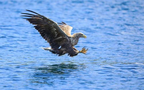 Scottish Wildlife Behaviour_White Tailed Eagle