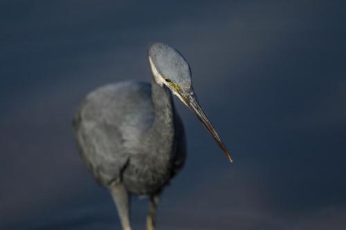 Reef heron 2