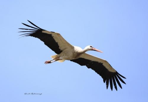 White stork 2