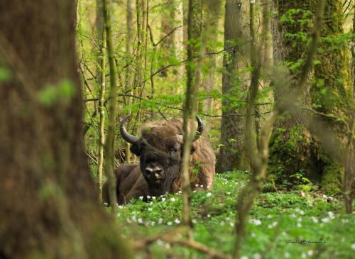 European bison 2