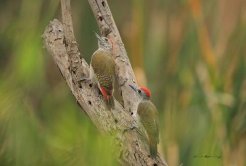 Little bee-eaters 2