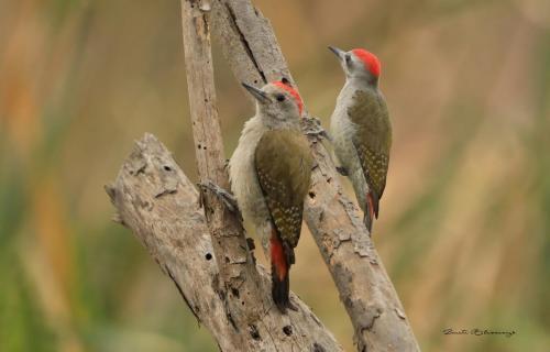 Grey woodpeckers
