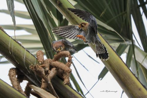 Red-necked falcon mating 2