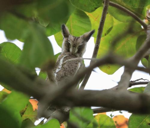 Northern white faced scops owl