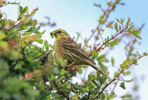 Yellowhammer male
