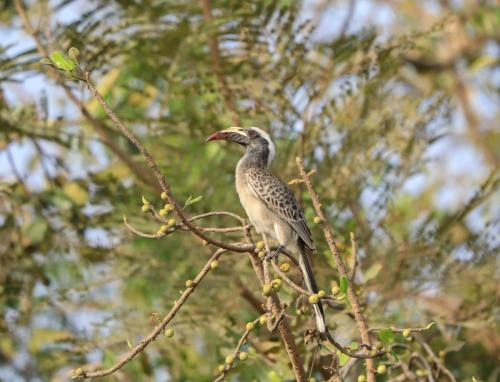 African grey hornbill (female)