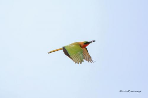 Red-throated bee-eater 2