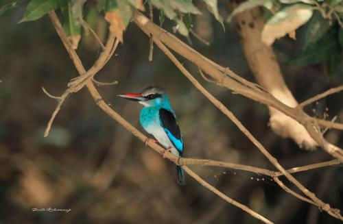 Blue- breasted kingfisher