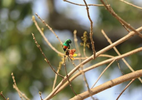 Beautiful sunbird 2