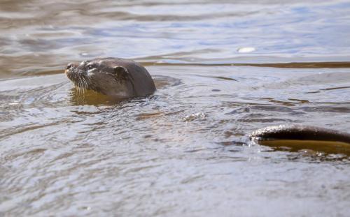 Otter3 Musselburgh