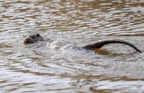 Otter Musselburgh
