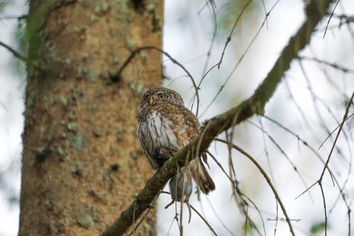 Pygmy owl with prey 2