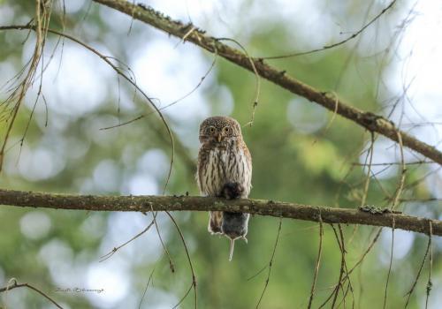 Pygmy owl with prey