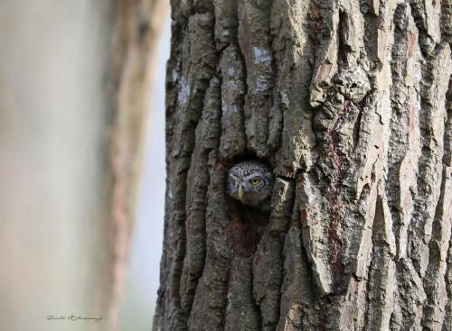 Pygmy owl female