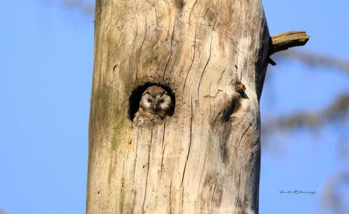 Tengalm's Owl